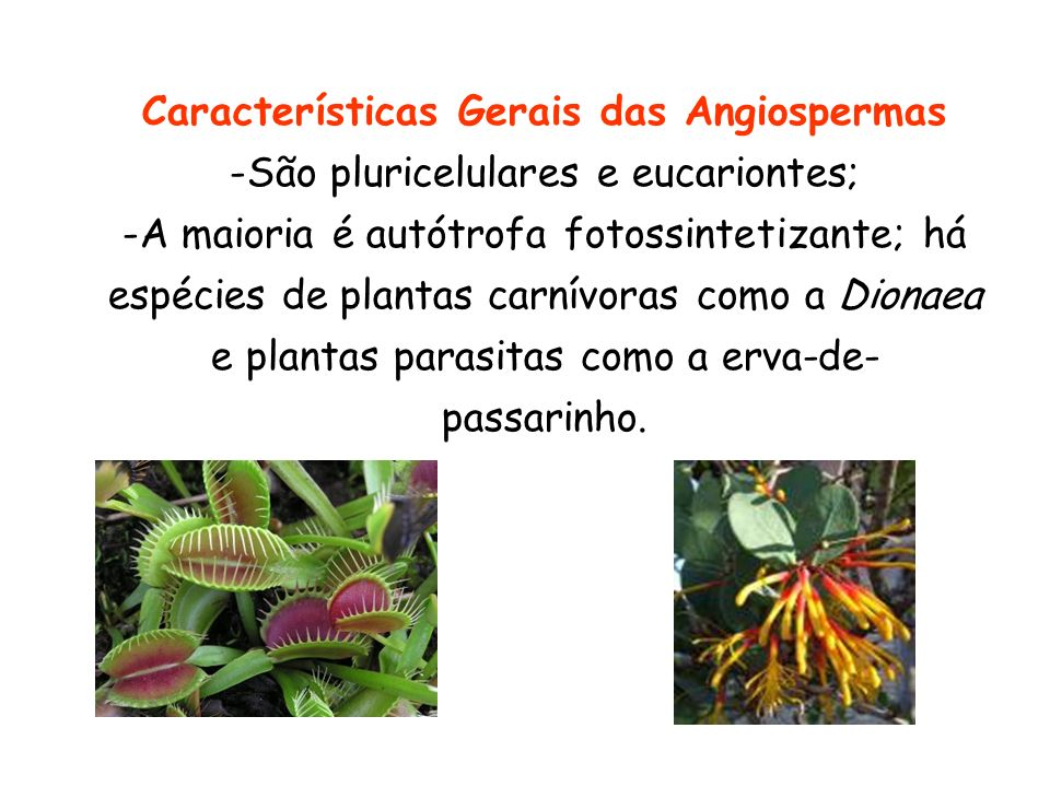 Características Gerais das Angiospermas -São pluricelulares e eucariontes; -A maioria é autótrofa fotossintetizante; há espécies de plantas carnívoras