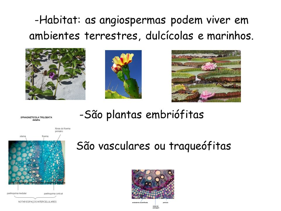 -Habitat: as angiospermas podem viver em ambientes terrestres, dulcícolas e marinhos. -São plantas embriófitas - São vasculares ou traqueófitas