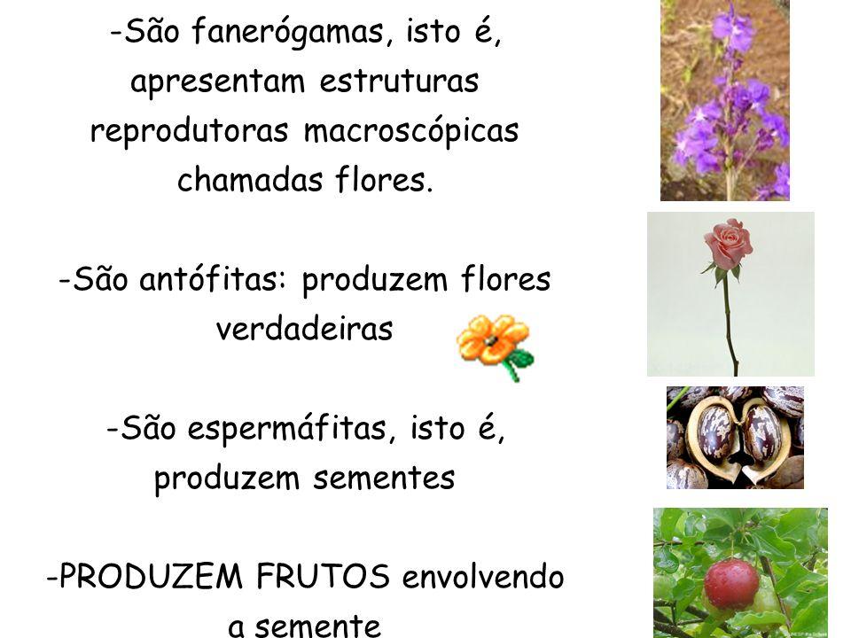 -São fanerógamas, isto é, apresentam estruturas reprodutoras macroscópicas chamadas flores. -São antófitas: produzem flores verdadeiras -São espermáfi
