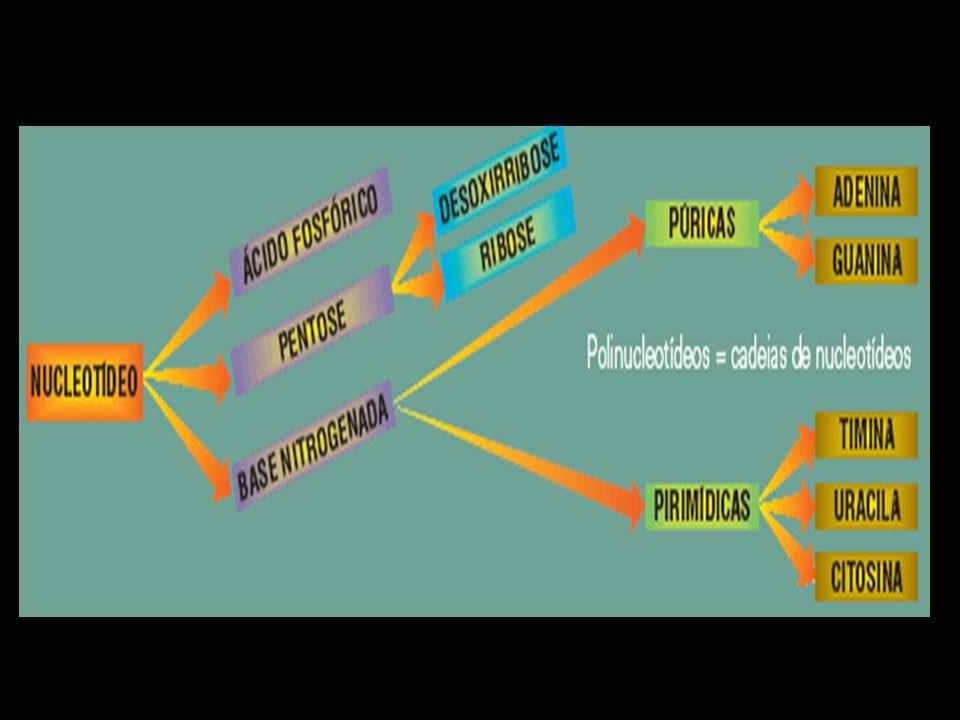 Ligação Glicosídica: Ligação covalente estabelecida entre o carbono 1 da pentose e o N1 das pirimidinas ou o N9 das purinas.
