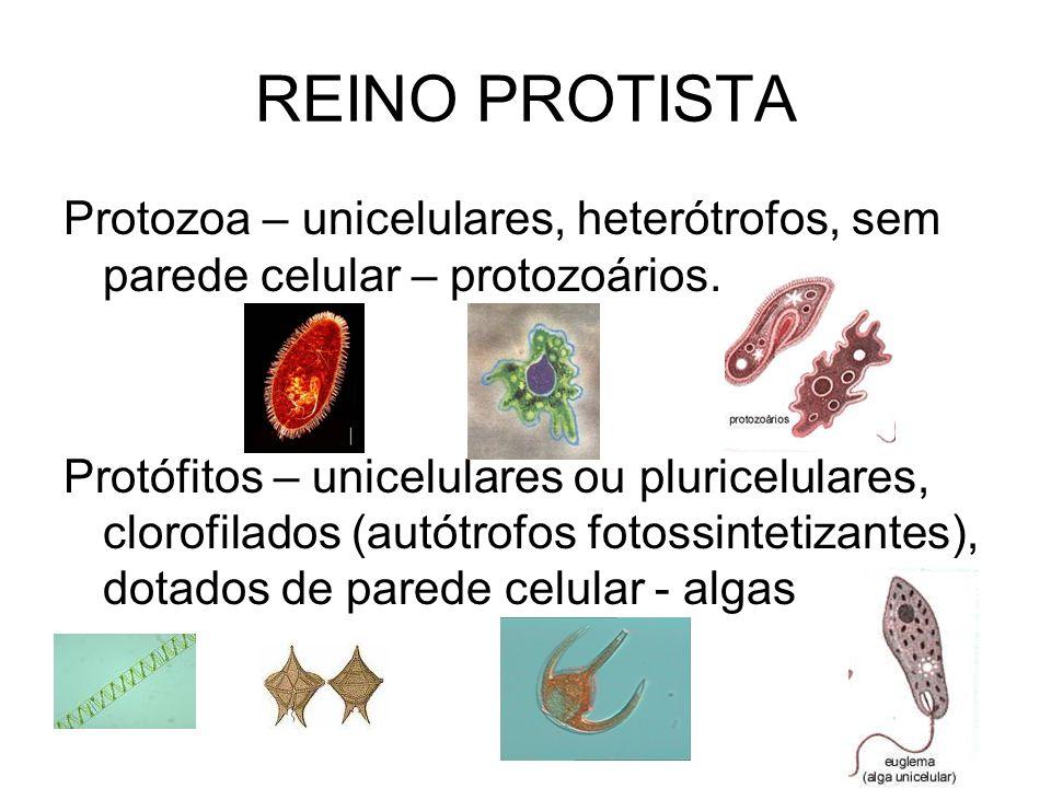 REINO PROTISTA Protozoa – unicelulares, heterótrofos, sem parede celular – protozoários. Protófitos – unicelulares ou pluricelulares, clorofilados (au