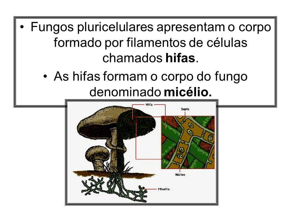Fungos pluricelulares apresentam o corpo formado por filamentos de células chamados hifas. As hifas formam o corpo do fungo denominado micélio.