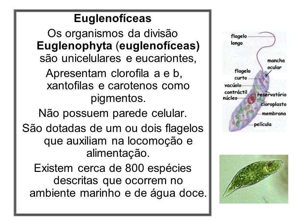 Euglenofíceas Os organismos da divisão Euglenophyta (euglenofíceas) são unicelulares e eucariontes, Apresentam clorofila a e b, xantofilas e carotenos