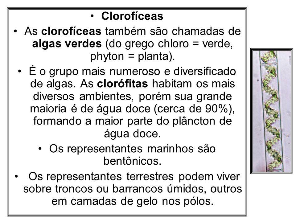 Clorofíceas As clorofíceas também são chamadas de algas verdes (do grego chloro = verde, phyton = planta). É o grupo mais numeroso e diversificado de