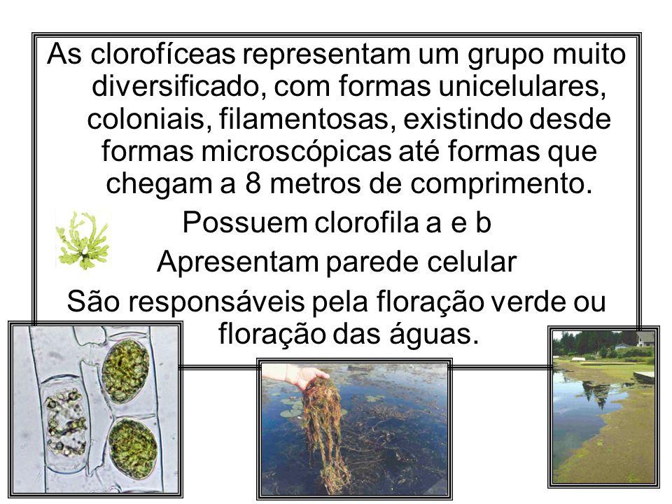 As clorofíceas representam um grupo muito diversificado, com formas unicelulares, coloniais, filamentosas, existindo desde formas microscópicas até fo