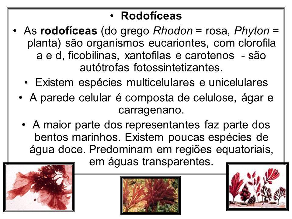 Rodofíceas As rodofíceas (do grego Rhodon = rosa, Phyton = planta) são organismos eucariontes, com clorofila a e d, ficobilinas, xantofilas e caroteno