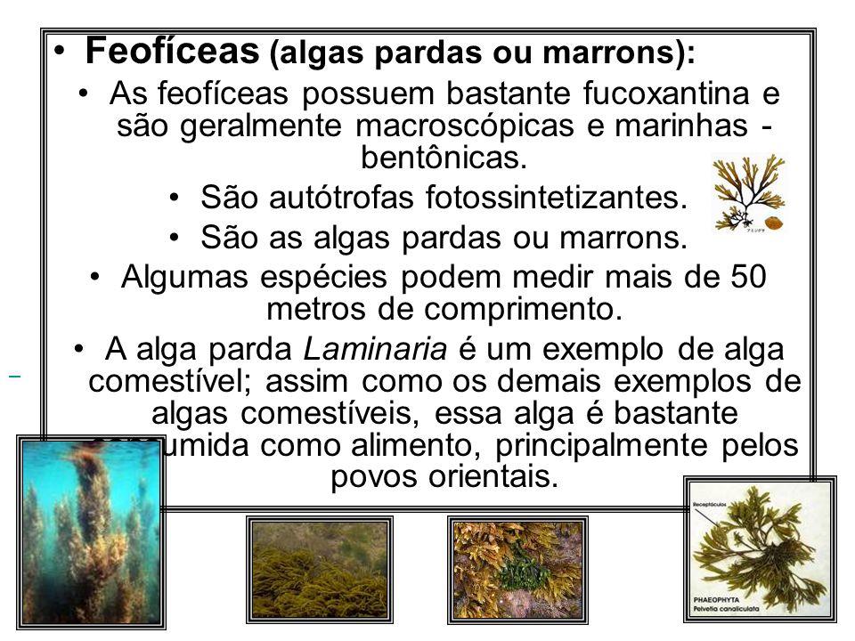 Feofíceas (algas pardas ou marrons): As feofíceas possuem bastante fucoxantina e são geralmente macroscópicas e marinhas - bentônicas. São autótrofas