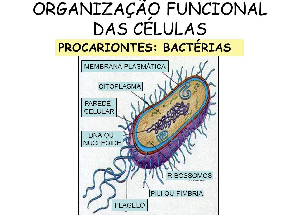 ORGANIZAÇÃO FUNCIONAL DAS CÉLULAS MEMBRANA PLASMÁTICA CITOPLASMA PAREDE CELULAR DNA OU NUCLEÓIDE FLAGELO PILI OU FÍMBRIA RIBOSSOMOS PROCARIONTES: BACT