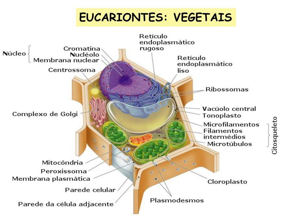 EUCARIONTES: VEGETAIS