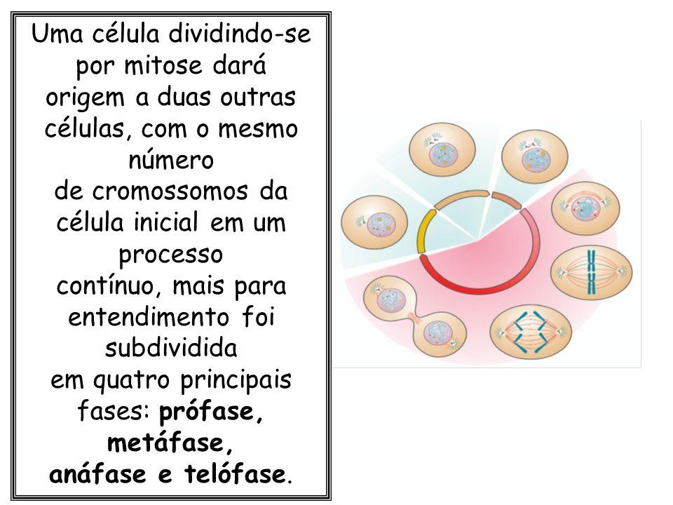 Uma célula dividindo-se por mitose dará origem a duas outras células, com o mesmo número de cromossomos da célula inicial em um processo contínuo, mai
