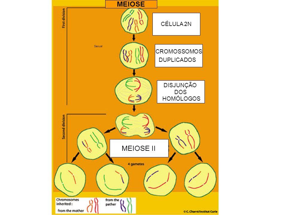 Sexual CÉLULA 2N CROMOSSOMOS DUPLICADOS DISJUNÇÃO DOS HOMÓLOGOS MEIOSE II MEIOSE