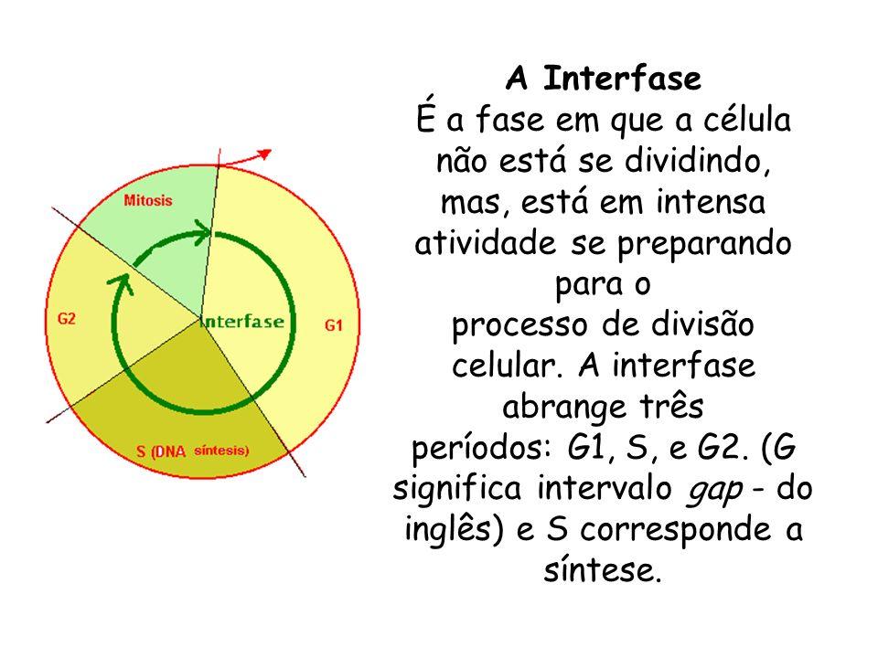 A Interfase É a fase em que a célula não está se dividindo, mas, está em intensa atividade se preparando para o processo de divisão celular. A interfa