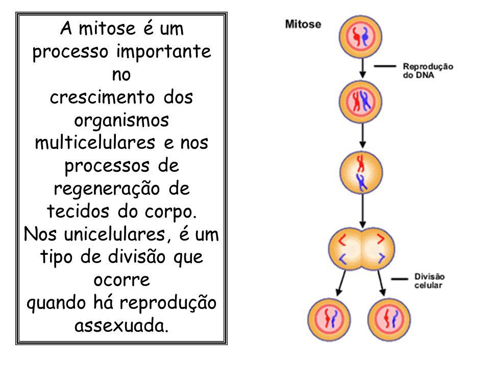A mitose é um processo importante no crescimento dos organismos multicelulares e nos processos de regeneração de tecidos do corpo. Nos unicelulares, é