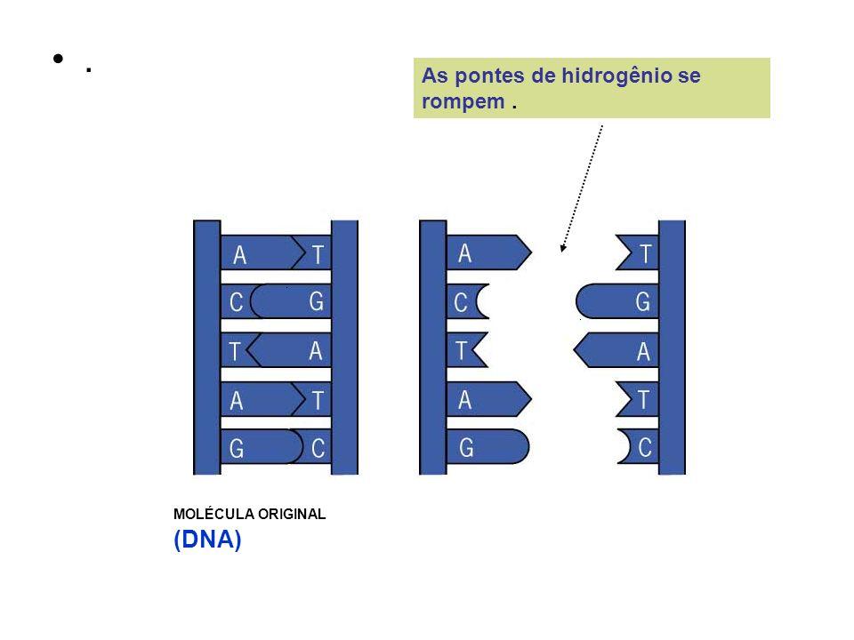 . As pontes de hidrogênio se rompem. MOLÉCULA ORIGINAL (DNA)