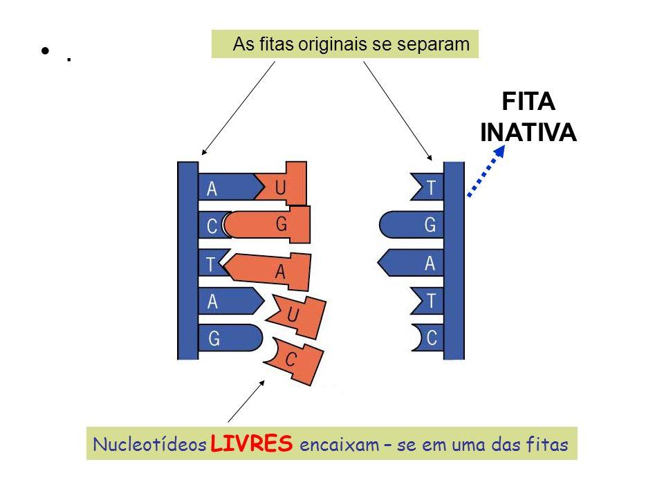 . As fitas originais se separam Nucleotídeos LIVRES encaixam – se em uma das fitas FITA INATIVA