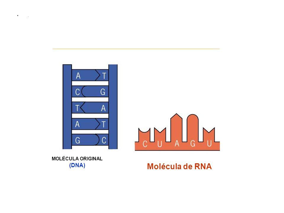 . Molécula de RNA MOLÉCULA ORIGINAL (DNA)