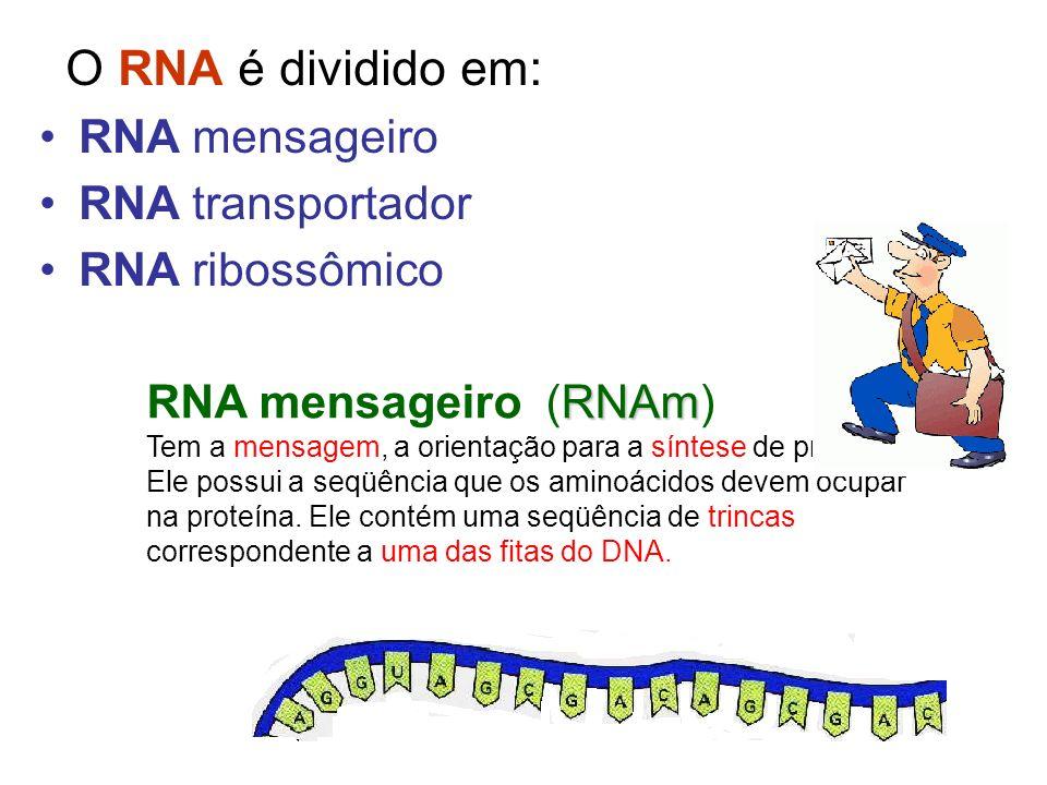 O RNA é dividido em: RNA mensageiro RNA transportador RNA ribossômico RNAm RNA mensageiro (RNAm) Tem a mensagem, a orientação para a síntese de proteí