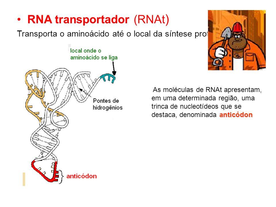 RNA transportador (RNAt ) Transporta o aminoácido até o local da síntese protéica anticódon As moléculas de RNAt apresentam, em uma determinada região