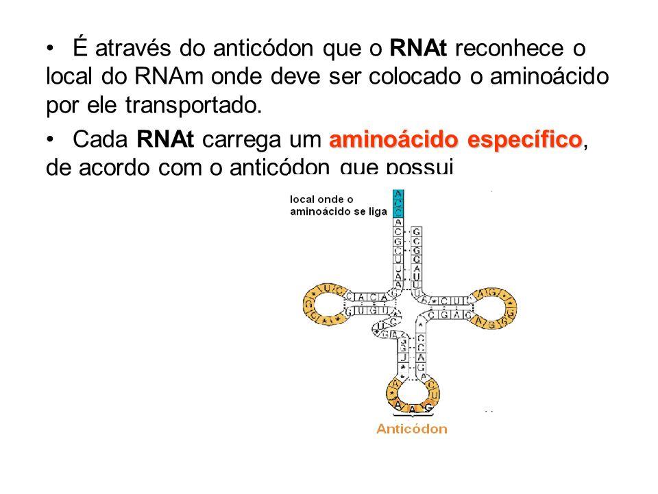 É através do anticódon que o RNAt reconhece o local do RNAm onde deve ser colocado o aminoácido por ele transportado. aminoácido específicoCada RNAt c