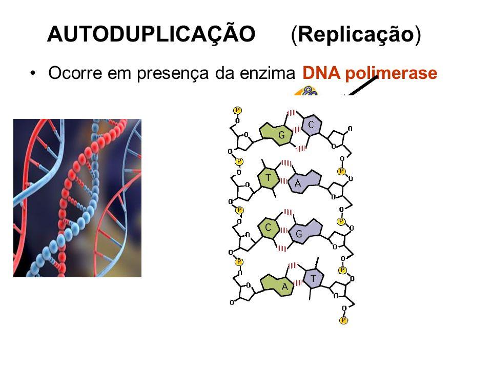 AUTODUPLICAÇÃO (Replicação) Ocorre em presença da enzima DNA polimerase