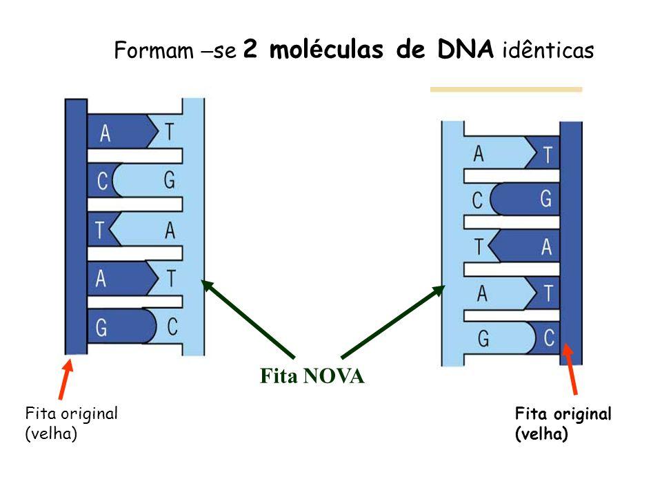Formam – se 2 mol é culas de DNA idênticas Fita original (velha) Fita NOVA