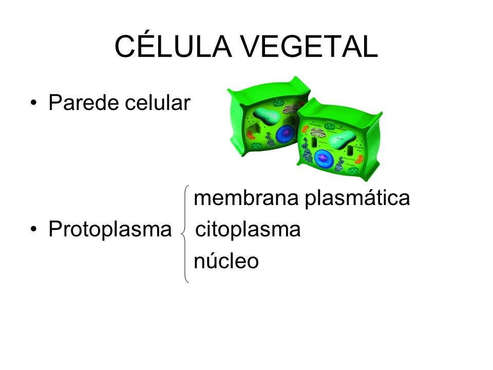 CÉLULA VEGETAL Parede celular membrana plasmática Protoplasma citoplasma núcleo