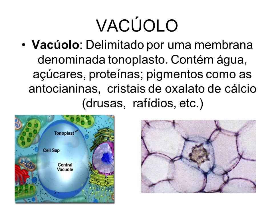 VACÚOLO Vacúolo: Delimitado por uma membrana denominada tonoplasto. Contém água, açúcares, proteínas; pigmentos como as antocianinas, cristais de oxal