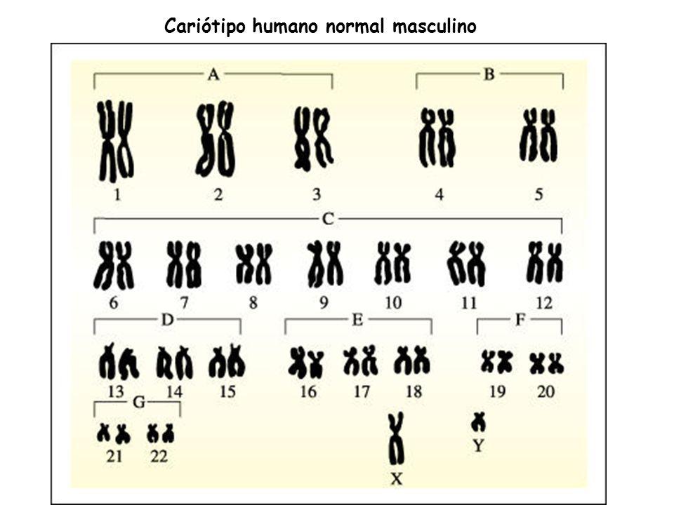 Cariótipo humano normal masculino