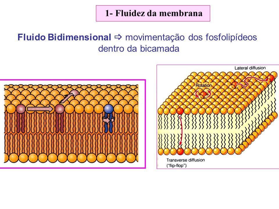 1- Fluidez da membrana Fluido Bidimensional movimentação dos fosfolipídeos dentro da bicamada