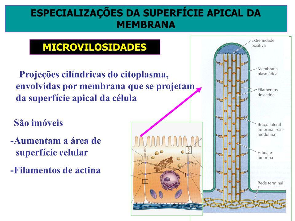 ESPECIALIZAÇÕES DA SUPERFÍCIE APICAL DA MEMBRANA MICROVILOSIDADES -Projeções cilíndricas do citoplasma, envolvidas por membrana que se projetam da sup