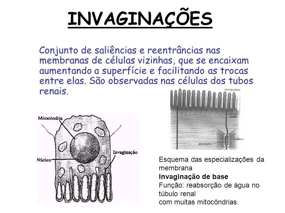 INVAGINAÇÕES Conjunto de saliências e reentrâncias nas membranas de células vizinhas, que se encaixam aumentando a superfície e facilitando as trocas