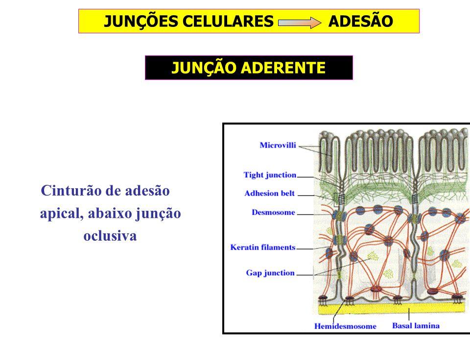 Cinturão de adesão apical, abaixo junção oclusiva JUNÇÃO ADERENTE JUNÇÕES CELULARES ADESÃO
