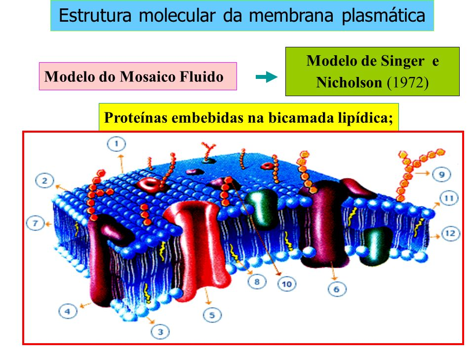 Modelo de Singer e Nicholson (1972) Modelo do Mosaico Fluido Proteínas embebidas na bicamada lipídica; Estrutura molecular da membrana plasmática