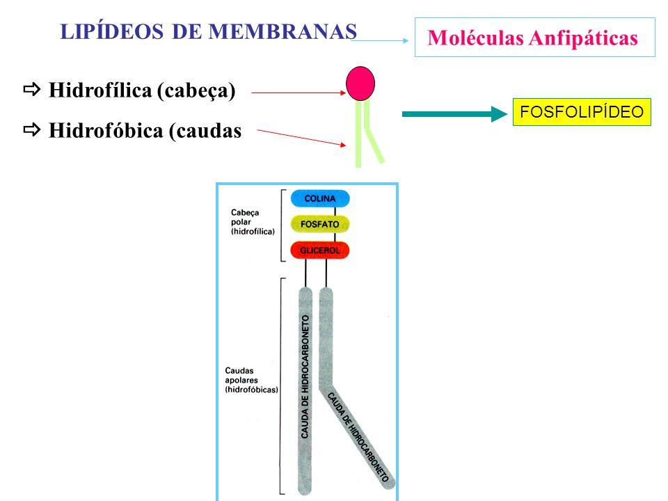 Hidrofílica (cabeça) Hidrofóbica (caudas) Moléculas Anfipáticas LIPÍDEOS DE MEMBRANAS FOSFOLIPÍDEO