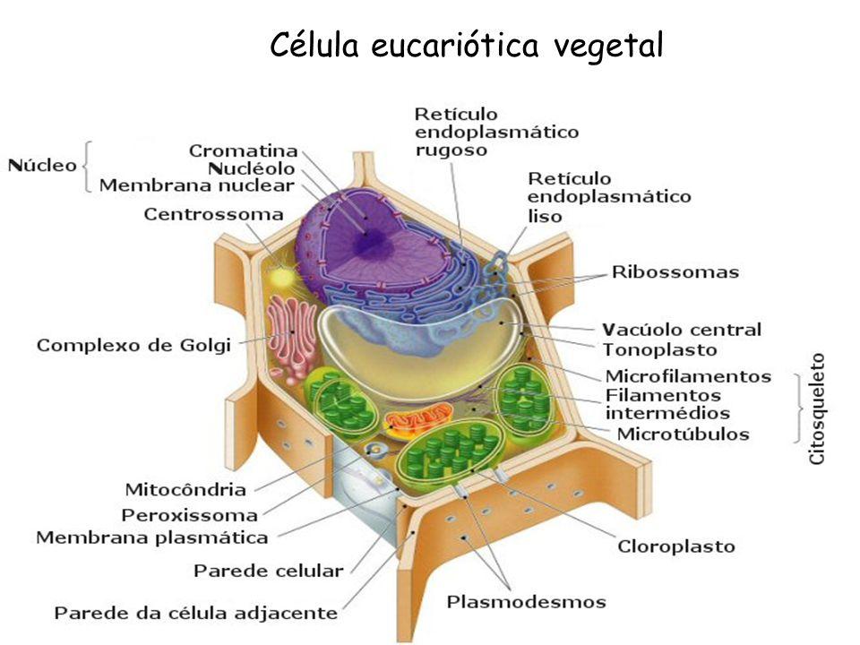 Originam-se dos plastídios e contêm DNA e ribossomos.