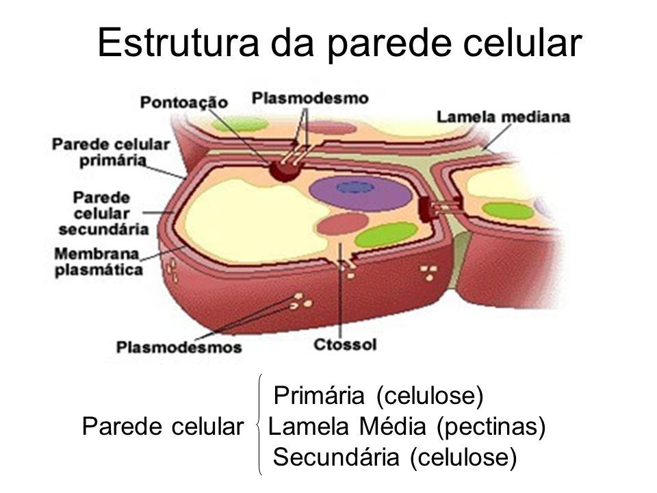 VACÚOLO Vacúolo: Delimitado por uma membrana denominada tonoplasto.