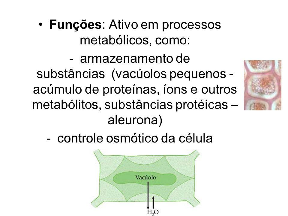 Funções: Ativo em processos metabólicos, como: -armazenamento de substâncias (vacúolos pequenos - acúmulo de proteínas, íons e outros metabólitos, sub