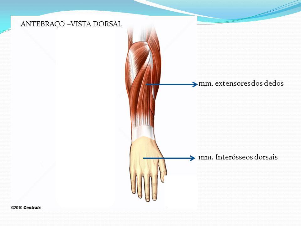 mm. extensores dos dedos mm. Interósseos dorsais ANTEBRAÇO –VISTA DORSAL