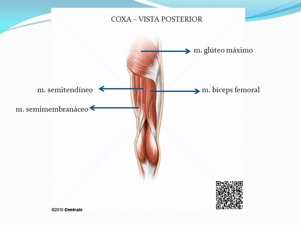 COXA – VISTA POSTERIOR m. glúteo máximo m. bíceps femoralm. semitendíneo m. semimembranáceo