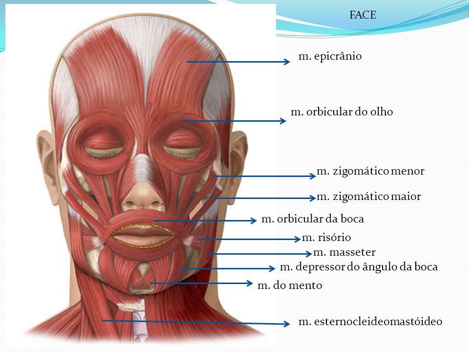 m. epicrânio m. orbicular do olho m. zigomático menor m. zigomático maior m. orbicular da boca m. risório m. masseter m. depressor do ângulo da boca m