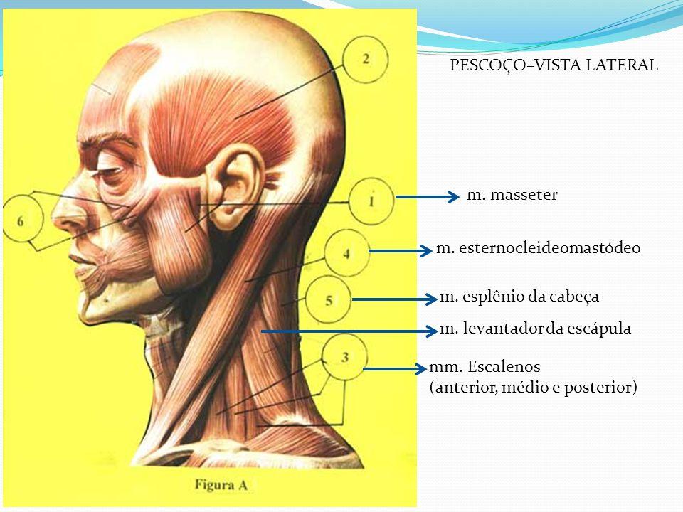 mm. Escalenos (anterior, médio e posterior) m. masseter m. esternocleideomastódeo m. esplênio da cabeça m. levantador da escápula PESCOÇO–VISTA LATERA