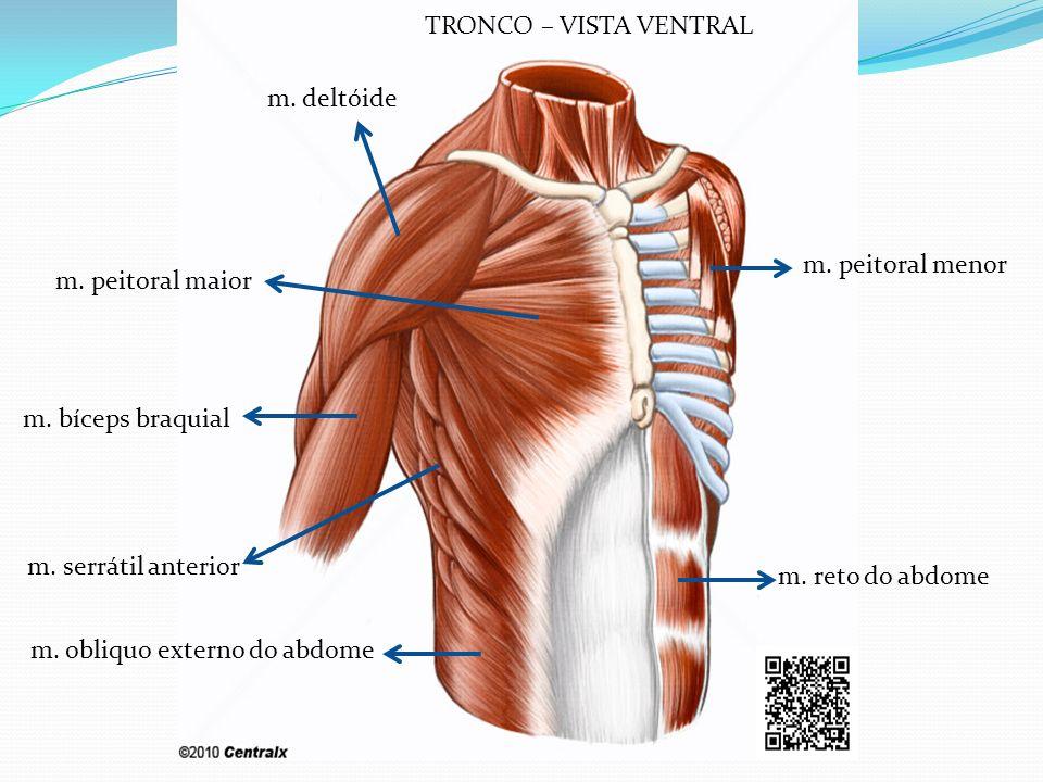 m. deltóide m. peitoral maior m. peitoral menor m. reto do abdome m. obliquo externo do abdome m. serrátil anterior m. bíceps braquial TRONCO – VISTA