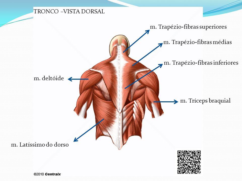 m. deltóide m. Latíssimo do dorso m. Tríceps braquial m. Trapézio-fibras inferiores m. Trapézio-fibras médias m. Trapézio-fibras superiores TRONCO –VI