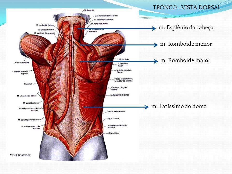 m. Esplênio da cabeça m. Rombóide menor m. Rombóide maior m. Latíssimo do dorso TRONCO –VISTA DORSAL