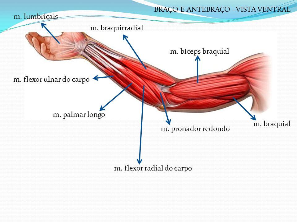 m. braquirradial m. bíceps braquial m. braquial m. pronador redondo m. flexor radial do carpo m. flexor ulnar do carpo m. palmar longo m. lumbricais B
