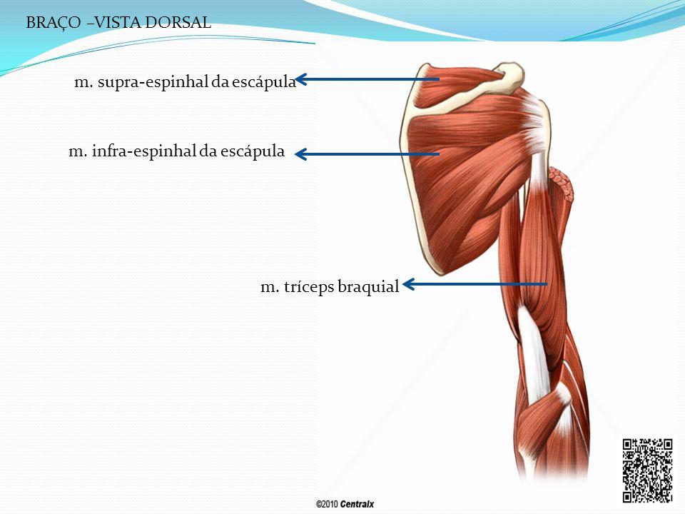 m. supra-espinhal da escápula m. infra-espinhal da escápula m. tríceps braquial BRAÇO –VISTA DORSAL