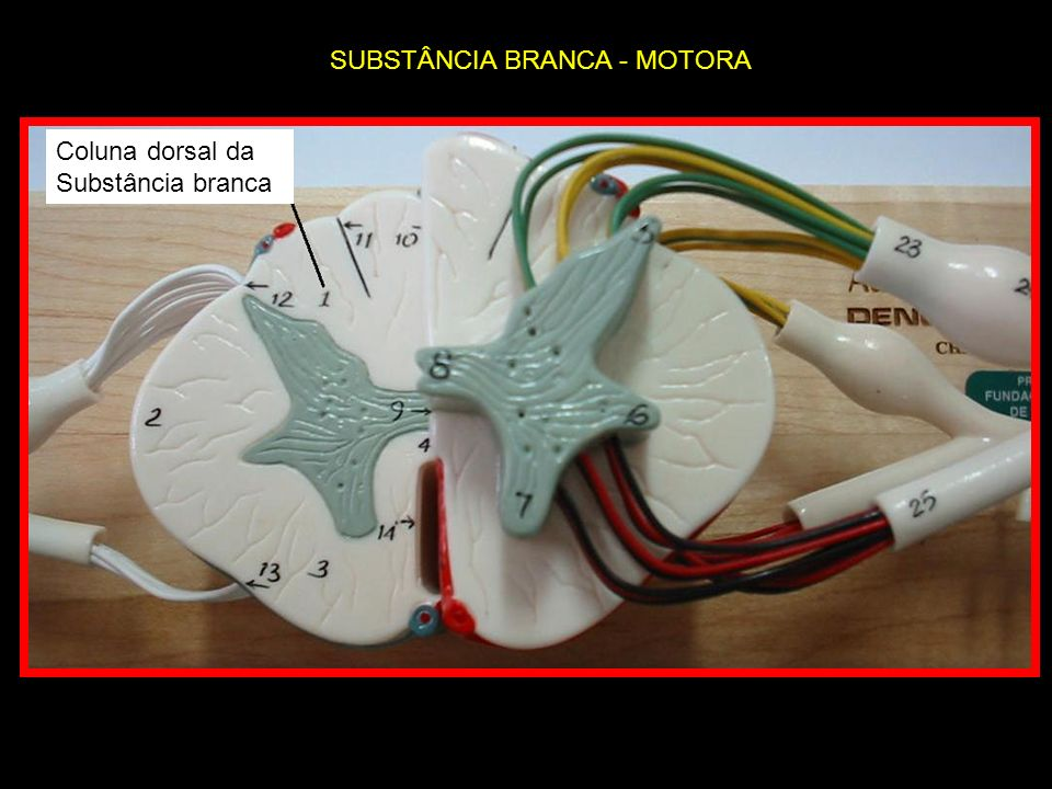 Coluna dorsal da Substância branca SUBSTÂNCIA BRANCA - MOTORA