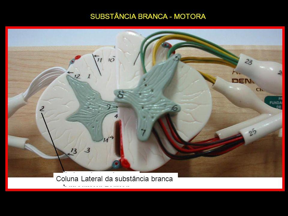 Coluna Lateral da substância branca SUBSTÂNCIA BRANCA - MOTORA