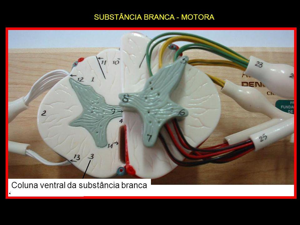 Coluna ventral da substância branca SUBSTÂNCIA BRANCA - MOTORA