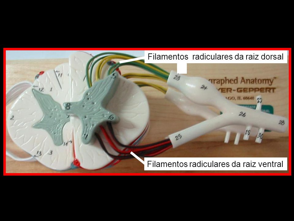Filamentos radiculares da raiz ventral Filamentos radiculares da raiz dorsal